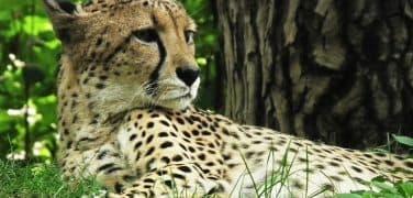 cheetah-425468_960_720